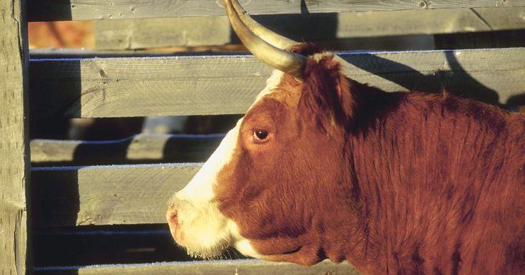 Diferentes tipos de marcas de ganado. Las marcas de ganado o hacienda han sido utilizadas para identificar manadas de animales domesticadas desde el 2700 a.C en Egipto. Pero no fue hasta 1541 d.C que el español Hernán Cortés introdujo la idea del marcado desde Europa. Los diseños de las marcas españolas como las utilizadas por Cortés eran muy elaboradas comparadas con las más ...