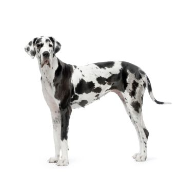 Great Dane, very gentle and loveable but in my experience they tend to be bed hogs lol