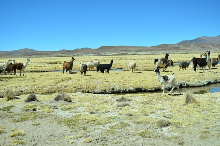 Paquisa, comuna de Putre. Chile.