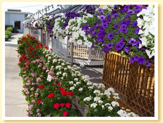 "Wave Petunia Hanging Baskets & 10"" Geranium Pots   Flowers"