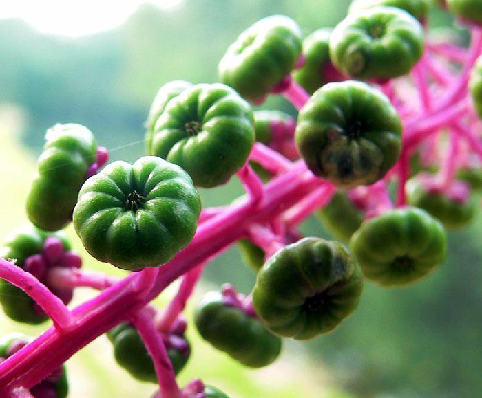 pokeweed seeds
