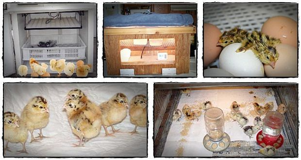 Step-by-step guide on how to make a homemade egg incubator for a higher hatching rate with the cheapest cost!