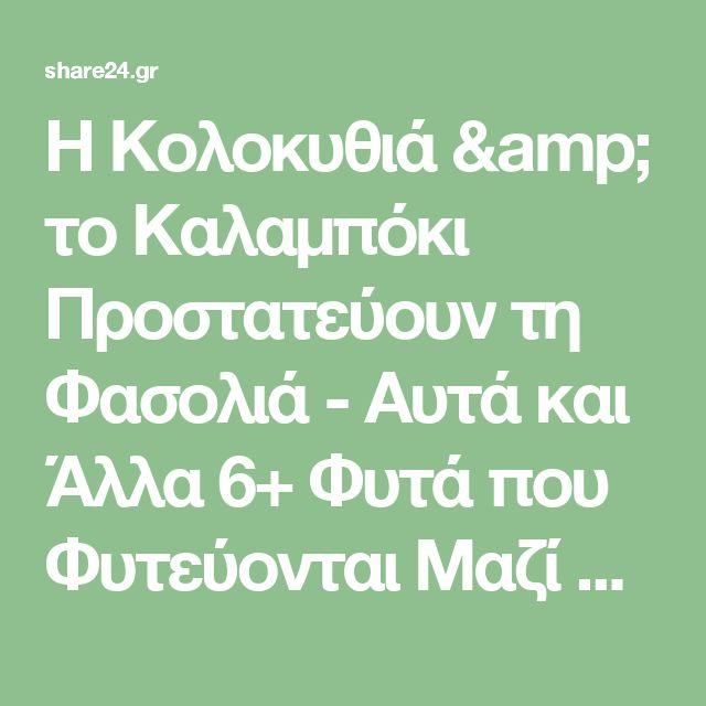 Η Κολοκυθιά & το Καλαμπόκι Προστατεύουν τη Φασολιά - Αυτά και Άλλα 6+ Φυτά που Φυτεύονται Μαζί με τη Φασολιά στον Κήπο - share24.gr