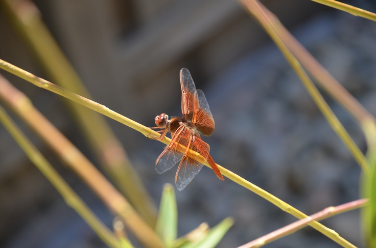 This is an orange dragonfly that make his home in my garden pond.