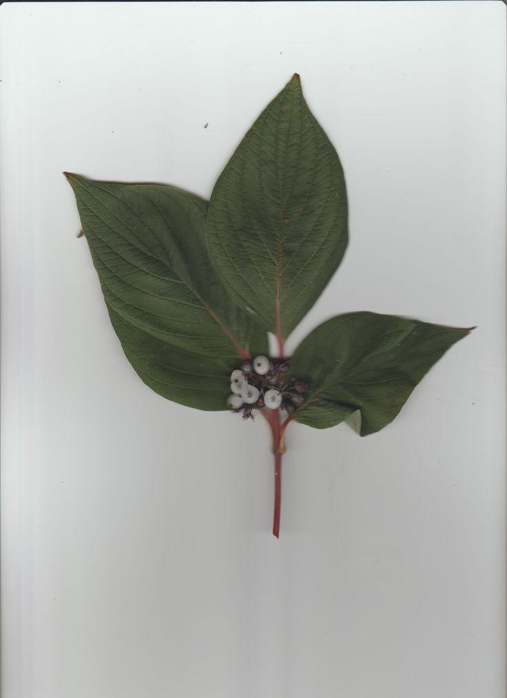 """Cornus stolonifera """"Red-Osier Dogwood"""" scan - Taken by Rosie Pearce"""