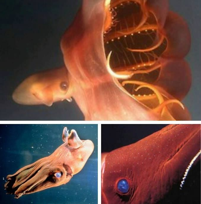 The Vampire squid first appeared before dinosaurs, about 300 million years ago. It has not gone through many changes during that time and is considered a living fossil. In order to protect itself from predators in the deep sea, the Vampire squid is able to turn itself inside out and give off a spiny appearance!