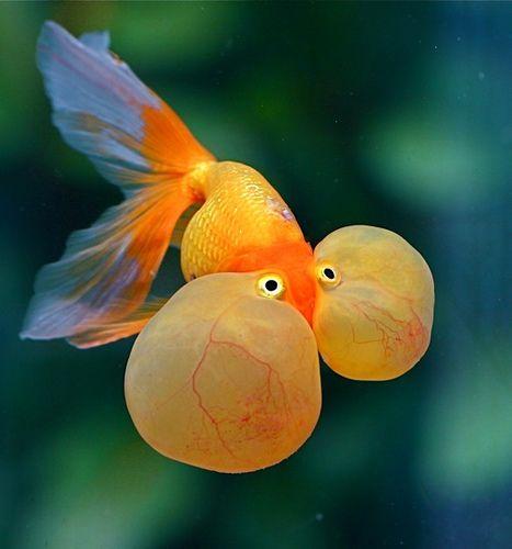 Bubble-eyed Goldfish - Chi Liu | Flickr - Photo Sharing!