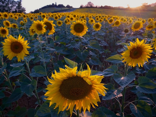 Gers sunflowers by noodlepie