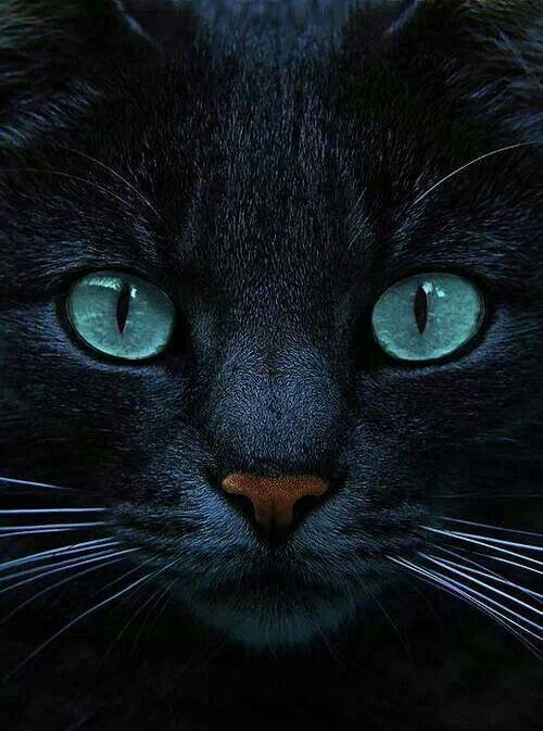 Blue eyed black cat | Cats...Black | Pinterest