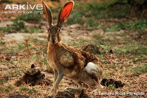 Easter Black Jack Rabbit Baja 24