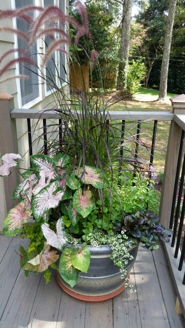 CALADIUM and Purple Fountain Grass Container | Container ...