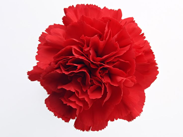 Red Carnation- you're a flame in my heart