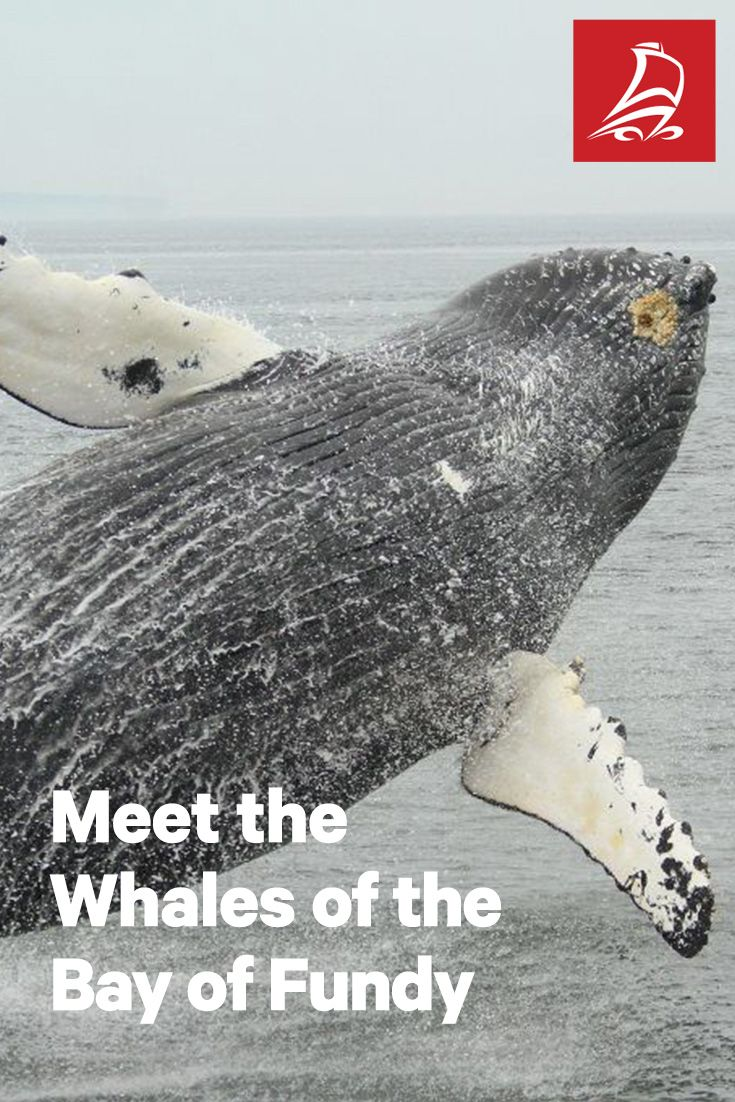 Meet the Whales of the Bay of Fundy | Take to the sea on the world's highest tides and see the whales of the Bay of Fundy. | Tourism New Brunswick blog