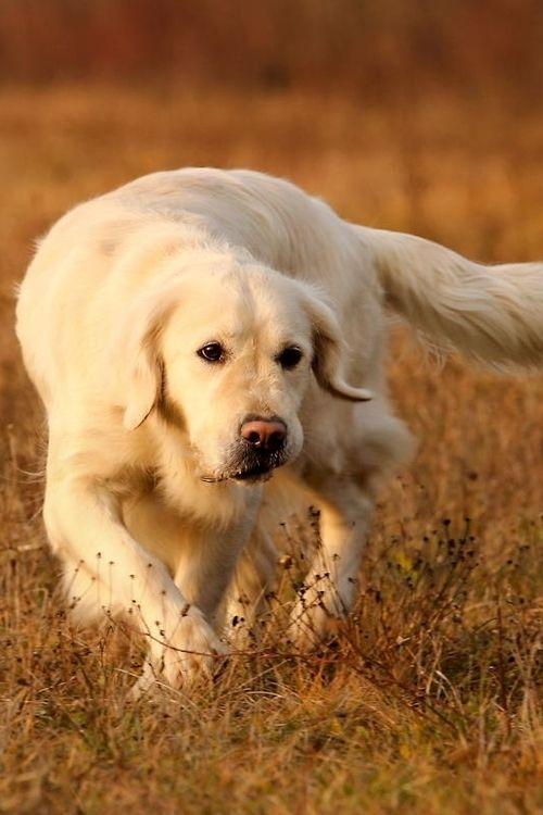 White dog !!! White Golden Retriever Puppy Dogs Puppies Dog