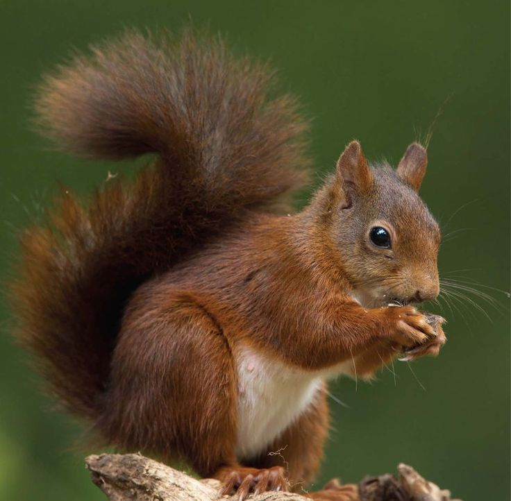 Details About 6 X Red Squirrel Christmas Cards Pack