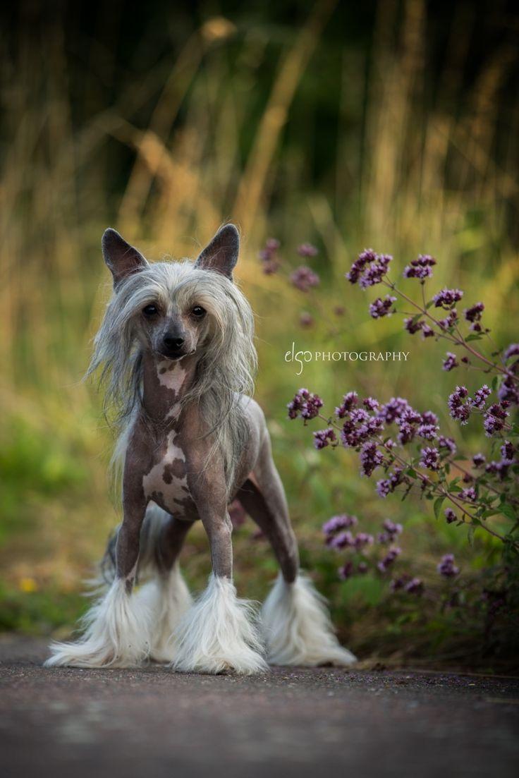Deimos chinesischer Schopfhund | Pawshake Bad camberg