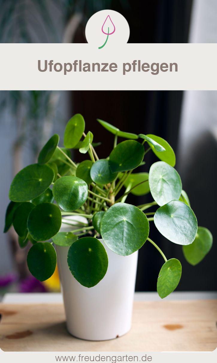Pilea Peperomioides Chinesischer Geldbaum, Glückstaler, Ufopflanze, Bauchnabelpflanze #PileaPeperomioides #ChinesischerGeldbaum #Glückstaler #Ufopflanze #Bauchnabelpflanze #Interior #UrbanJungle #UrbanJungleBlogger