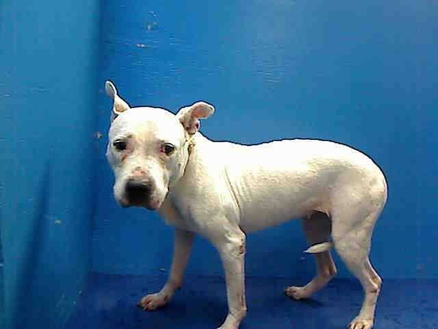 ((EXTREMELY URGENT)) Urgent Death Row- TO BE DESTROYED FRI. 9/20/13 Brooklyn Center  My name is SNOWY. ID#A0855937 I'm a spayed female white dogo (like the dog in book, Oogy) argentino mix about 10 YEARS old. I came in the shelter as a STRAY on 09/11/2013. SHE'S SO SCARED, SAD & WONDERING WHY SHE'S WHERE SHE IS. Notice her tail tucked between her legs. PLEASE HELP SAVE THIS SENIOR GIRL!!!