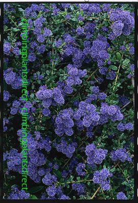 Ceanothus 'Skylark' - The BLUE JEWEL of the garden.