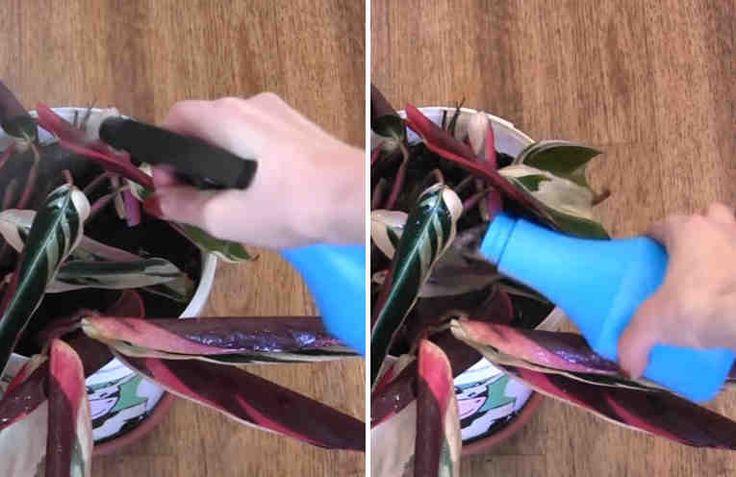 Необычное средство для комнатных растений. Как «реанимировать» комнатные цветы.