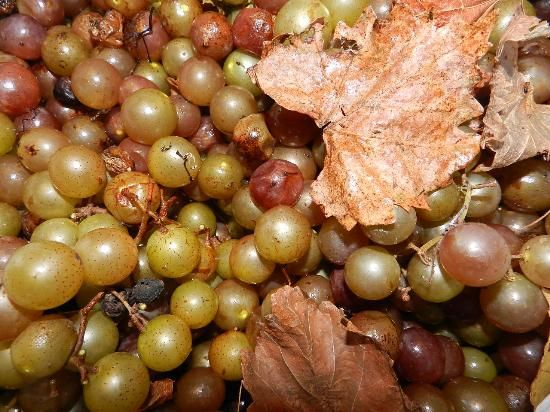 Learn how to make muscadine wine from muscadines growing in your own yard or countryside.