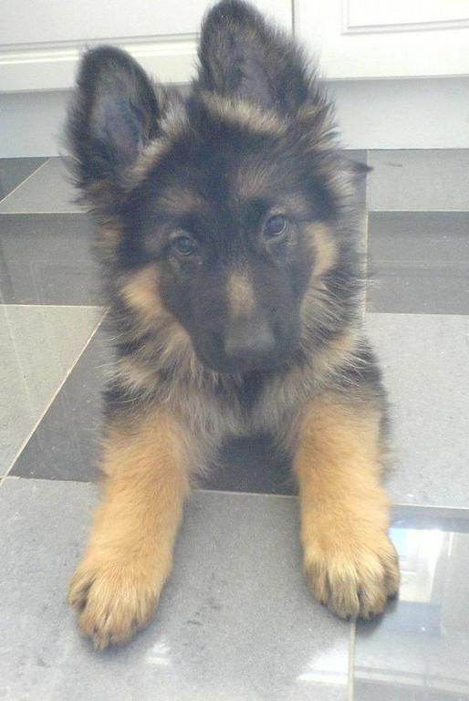 My love for German Shepherds... :)