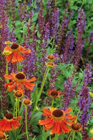 YELLOW AND ORANGE; Helenium Moerheim Beauty -  my long-standing favourite Helenium with conkerbrown crimson flowers. I cut one third of the stems back to two thirds their height in June to prolong their flowering through summer into autumn. Salvia Ostfriesland - a classic summer salvia, with deep purple flowers over strong, bushy clumps of deep green leaves and it flowers for ages.