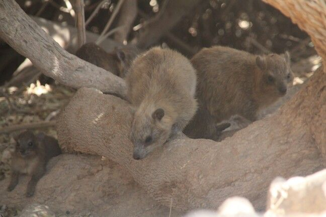 Rock hyraxes on the tree