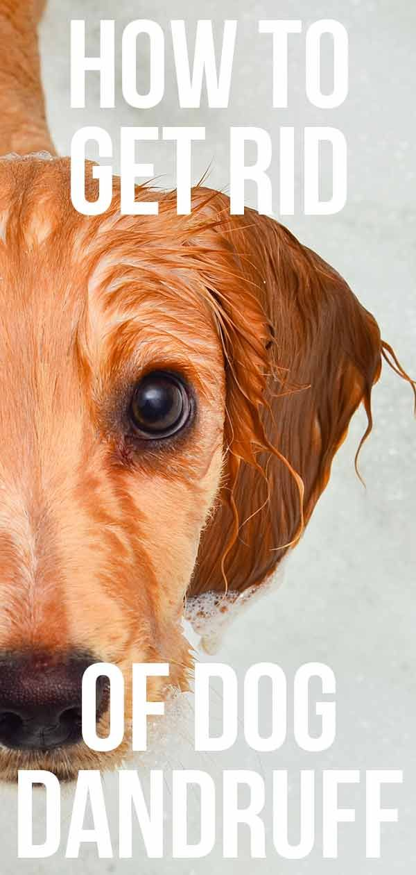 How To Get Rid Of Dog Dandruff A Guide To Causes And Treatments Dog Dandruff Dandruff Dogs