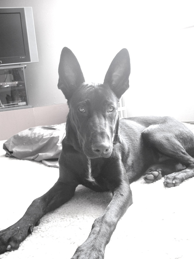 Great Dane and Belgian Malinois cross  Now thats an interesting mix, recreating medieval hunting dogs are we?