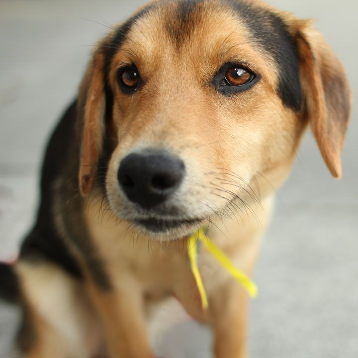 Not my puppy but it looks just like him! Same name and all!   Dexter - German Shepherd Beagle mix