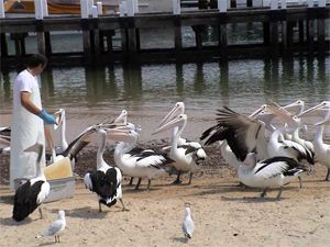 Feeding The Pelicans | San Remo Fishermans Cooperative Society
