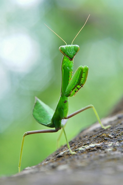 Juvenile Praying Mantis by itchydogimages, via Flickr