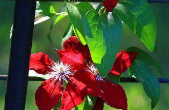 Клематисы в ландшафтном дизайне: роскошное украшение двора | В цветнике (Огород.ru)