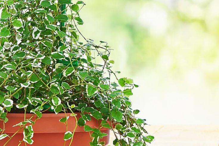 Vesifiikus (Ficus pumila)