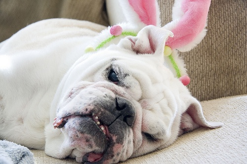 These Bunny Ears Are Exhausting!Bunnies Ears, English Bulldogs
