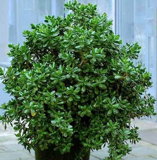 Толстянка - оригинальное растение. Оно неприхотливо в уходе, а те, у кого оно приживается, долго наслаждаются его декоративным видом. Знать, как вырастить домашнее денежное дерево, желают многие домохозяйки.