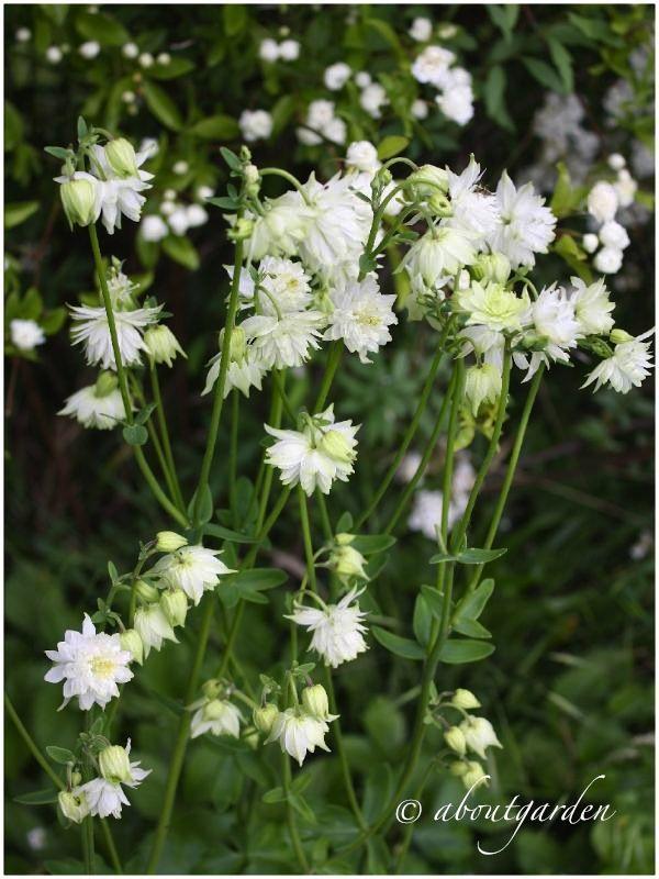 "Aquilegia vulgaris 'White Barlow"""