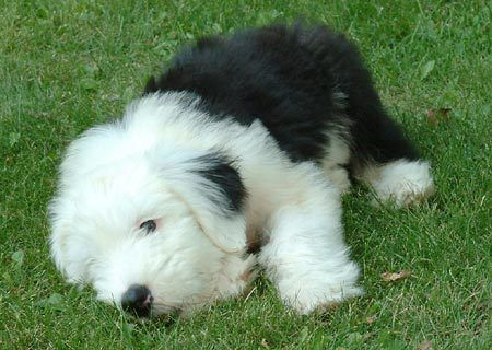 I rescued a white-head English sheep dog from apartment living...the day I graduated from college. Gilligan was his name.