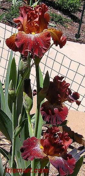 Crimson Twist Tall Bearded Iris