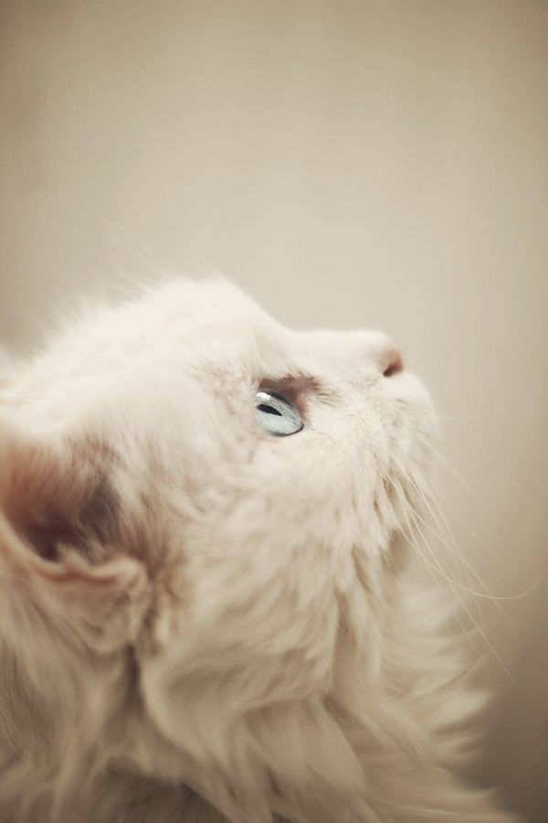 : Baby Blue, Kitty Cats, White Cats, Soft Color, Blue Eyes, Persian Cats, Baby Cats, Snow White, White Kittens