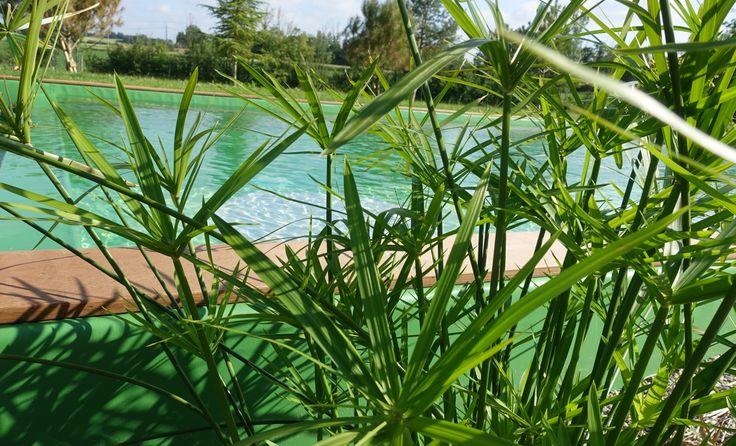 Papyrus pour la régénération de la piscine naturelle - Chambre d'hôtes écologique de charme dans le Tarn près d'Albi - Brin de Cocagne