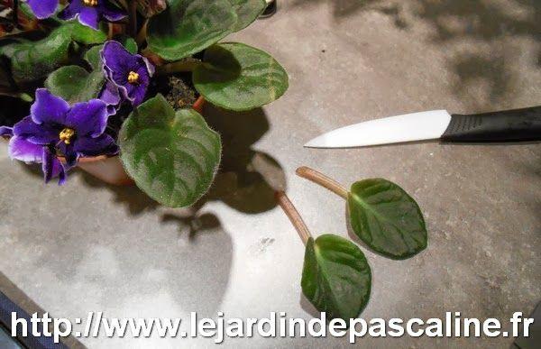 LE JARDIN DE PASCALINE: Bouture de Saint Paulia ou Violettes Africaine