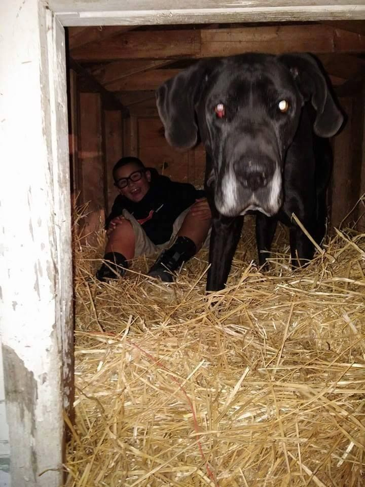 Friends Of Rowlett Animals Like This Page 183 2 Hrs 183 Lost Black Great Dane With White Chest And