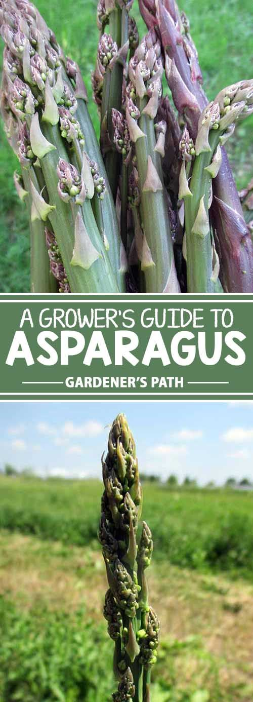 Tired of seeing annual vegetables come and go? Then it's time to plant asparagus in your gardening corner of the world! With the right care and less maintenance than most other crops, a couple years of patience will bring up asparagus spears each spring for years and years. Find your complete guide to growing the perennial now! Get the scoop: http://gardenerspath.com/plants/vegetables/asparagus/