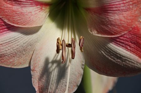 For Izzie Photo by Michiale Schneider — National Geographic Your Shot                              amaryllis, red, flower, nature, bloom, blossom