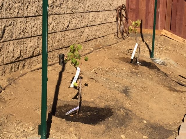 The wife wanted me to do a project at home so here is 2 grapevines that were brought down from the Napa Valley area. I put in 2 metal stakes and attached wire between them and added in a drip line to each vine.
