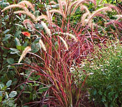 Pennisetum setaceum Fireworks - White Flower Farm Purple Fountain Grass (Pennisetum setaceum 'Rubrum') has been a favorite for adding dark bronzy purple foliage to annual containers and beds, but now there's a sport called 'Fireworks' that suggests interesting design possibilities, too. Its uniquely variegated leaves are striped in burgundy, green, and white. Expect the same vigorous growth habit and showy pale reddish purple flower plumes from summer until fall. PP 18,504