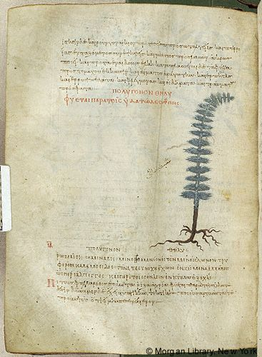 De materia medica, MS M.652 fol. 130v - Images from Medieval and Renaissance Manuscripts - The Morgan Library & Museum