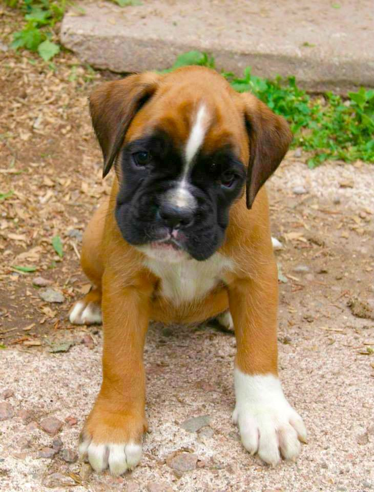 Serious Cuteness | A community of Boxer lovers!